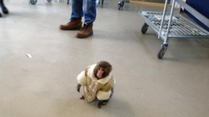 The 'IKEA' Monkey